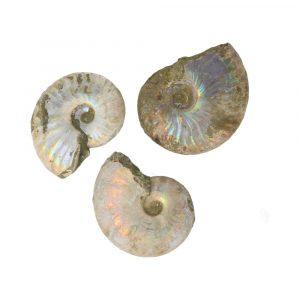 Ammoniet Iriserend 3,5 – 4,5cm