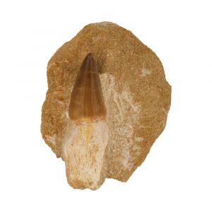 Mosasaurus Tand Fossiel Middel